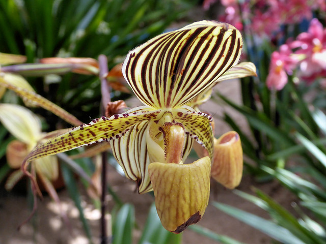 Orchidee, Panasonic DMC-TZ61