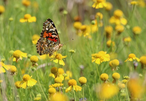 Painted Lady Butterfly | by U.S. Fish and Wildlife Service - Midwest Region