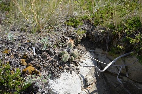 Dumheller plump cactus