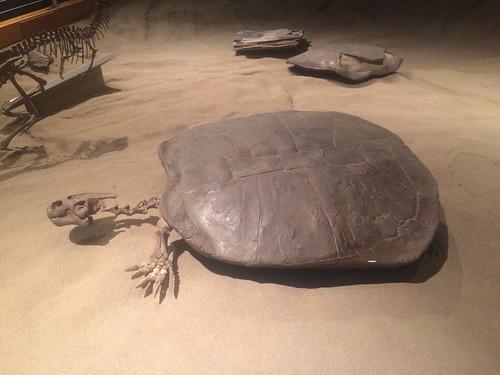 Drumheller Tyrell Turtle