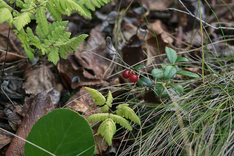 Forest floor with ligonberry