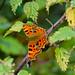 Comma butterfly on nettle