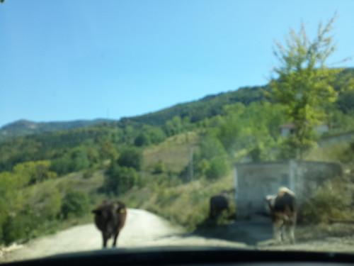 Könnyes búcsú a tehenektől.