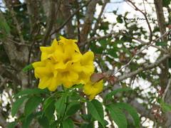 Golden Trumpet Tree (Trabebui chrysotricha)