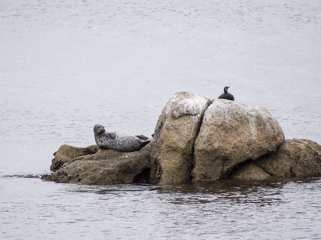 harbor seal & cormorant