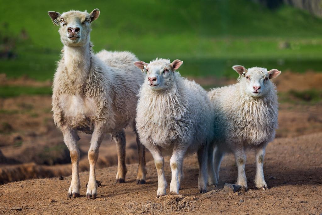 Three Icelandic Sheeps
