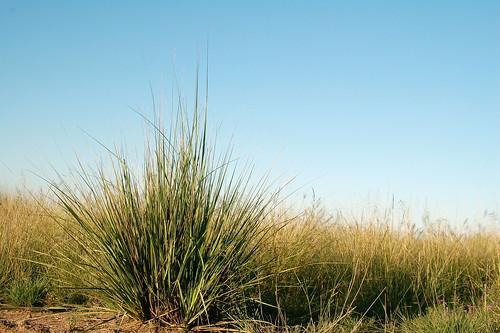 African lovegrass