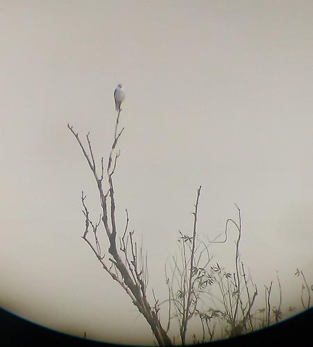 Gleitaar (Elanus caeruleus) (1), NGIDn776108419