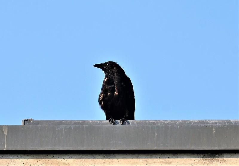 Crow 26.9 (4)