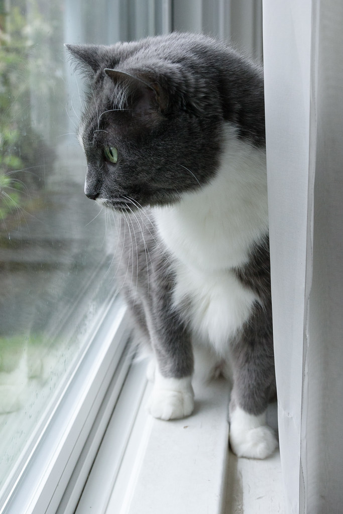 Our gray tuxedo cat Templeton watches the yard from the ledge of a large picture window