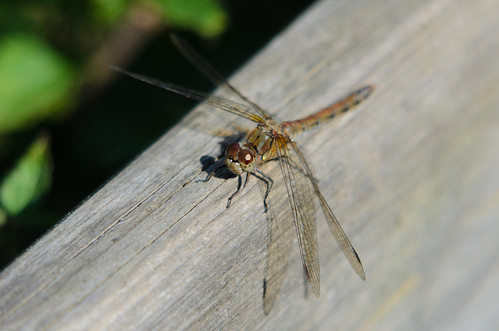 Sunning: female common darter dragonfly