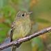 Yellow-bellied Flycatcher by ShearH2O