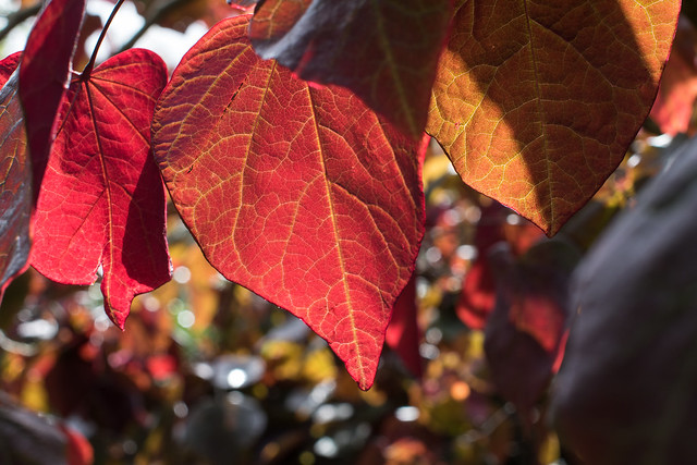 Cercis canadensis, Knightshayes Court