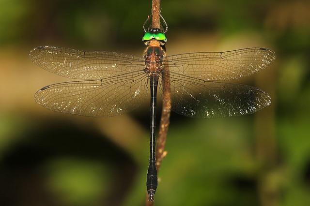 Bates's Emerald - Neocordulia batesi - Soberanía National Park, Panama, Panama - June 7, 2017