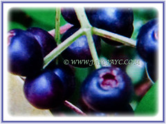 Spherical dark purple fruits or berries of Syzygium myrtifolium (Red Lip, Australian Brush Cherry, Kelat Paya/Oil in Malay), 3 Aug 2017