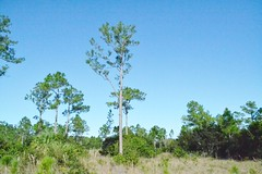 Pinus sp. --  either a longleaf or slash pine tree 0038