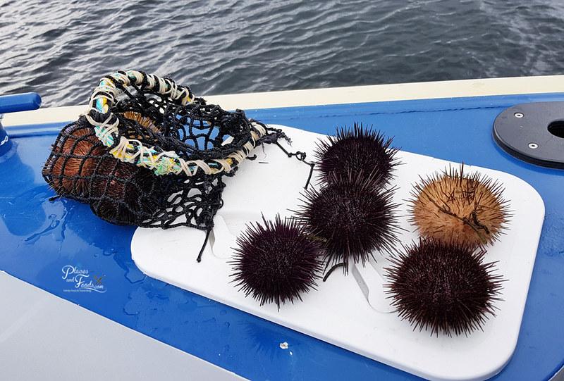 sea urchin tasmania