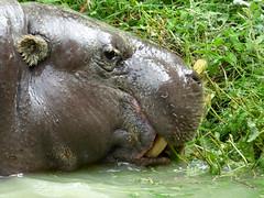 Cerza Zoo - pygmy hippopotamos. (5)