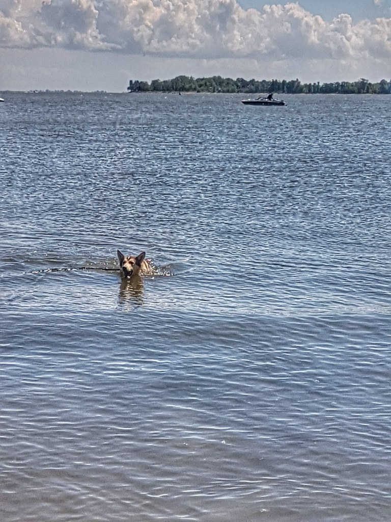 Loki Husky Swimming Winnipeg Beach