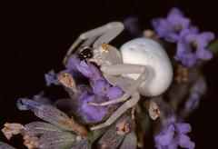 Goldenrod Crab Spider (Misumena vatia) eating a Jumping Spider (Salticidae) ...