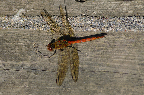Pause before patrolling: common darter
