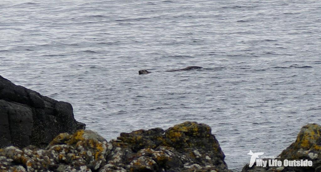 P1100433 - Otter, Isle of Mull