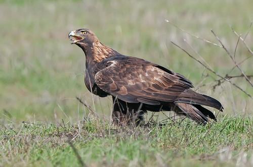 Golden Eagle (M)