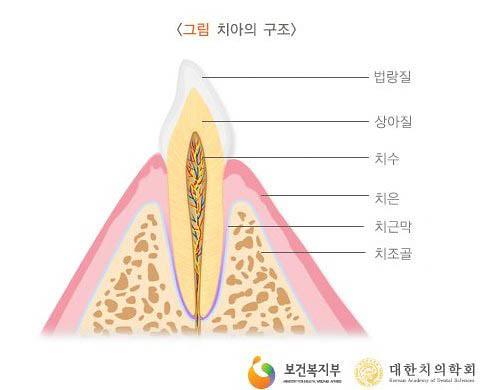 10그림_치아의구조