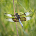 Widow Skimmer 20170617_9122 by GORGEous nature