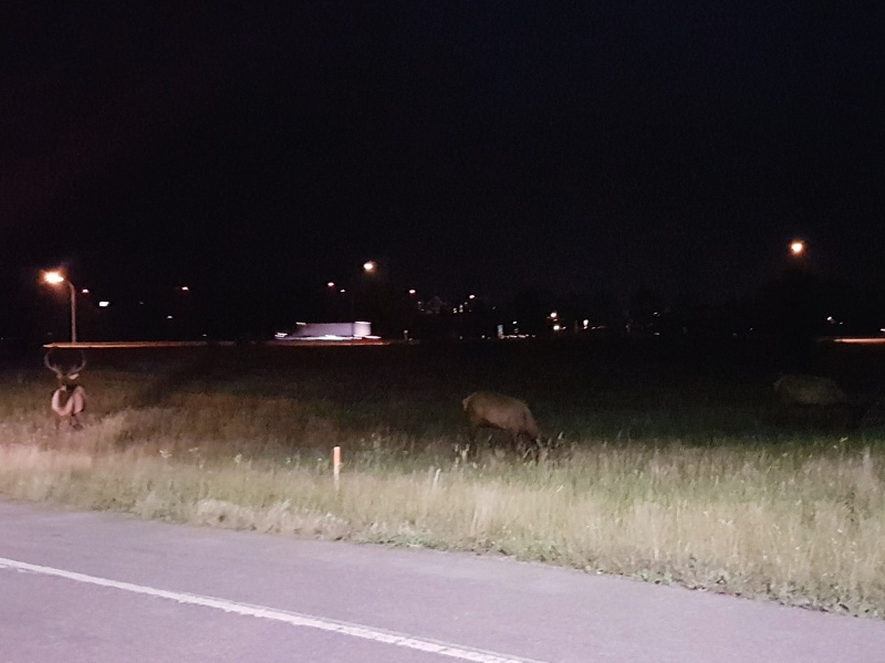 Canmore elk