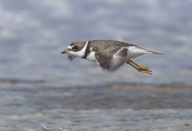 Semipalmated Plover (adult male)