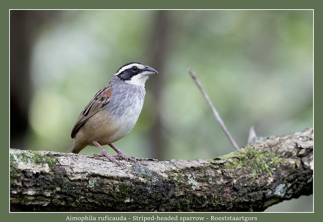 Striped-headed sparrow