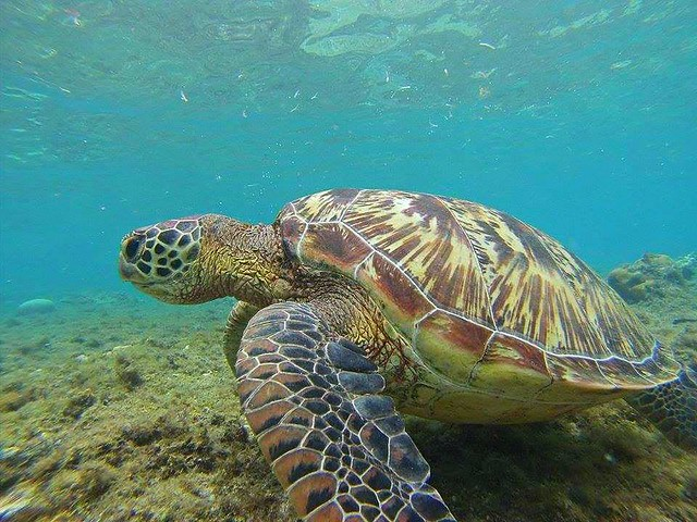 Apo Island Grean Sea Turtle