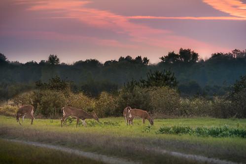 canoneos5dmarki ef100400mmf4556lisiiusm sunset atardecer deer evening tardes does bucks field campo mi michigan midland midmichgan drama cute bambi feeding cityforest farmland