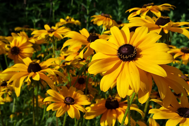 sunny shot of many rudbeckia hirta, with one on the far right closer and tilted more toward the camera