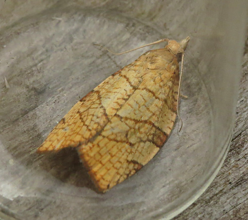 Chequered Fruit-tree Tortrix Pandemis corylana Tophill Low NR, East Yorkshire August 2017