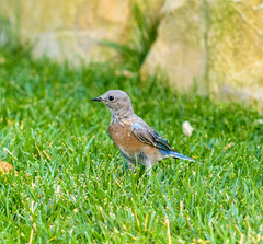 The Young Bluebird
