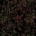 58486.01 Cotinus coggygria 'Royal Purple' by horticultural art