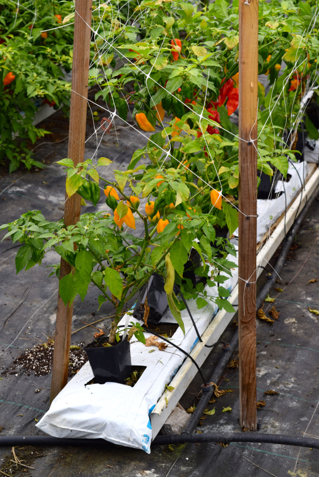 Habanero Chilli Farm, Bedfordshire | www.rachelphipps.com @rachelphipps