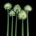 58493.01 Allium by horticultural art