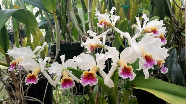 Cattleya rex. 12 flowers on three spikes this year.