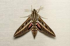 Hyles lineata (White-lined Sphinx Moth) - Hodges # 7894