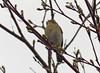Arctic Warbler (Phylloscopus borealis) (Seicercus borealis)