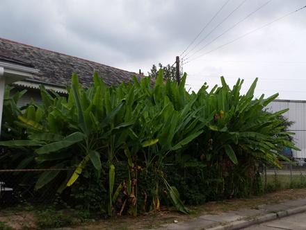 Marigny Banana Plantation