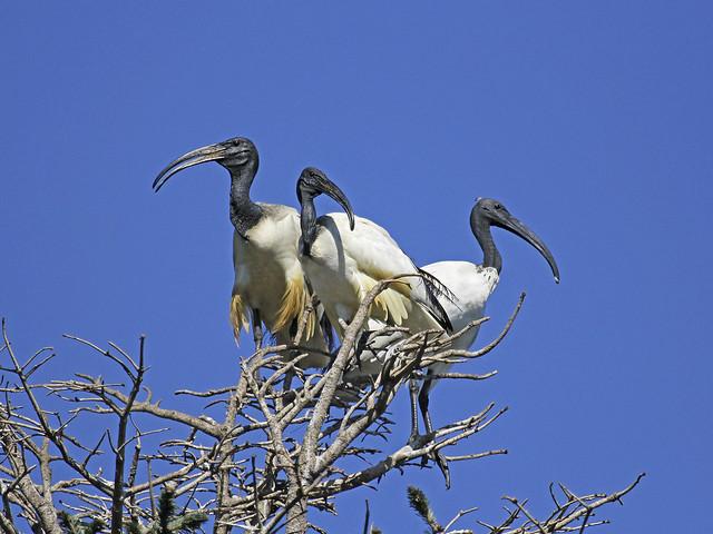 Threskiornis aethiopicus /Ibis sacro / African ibis