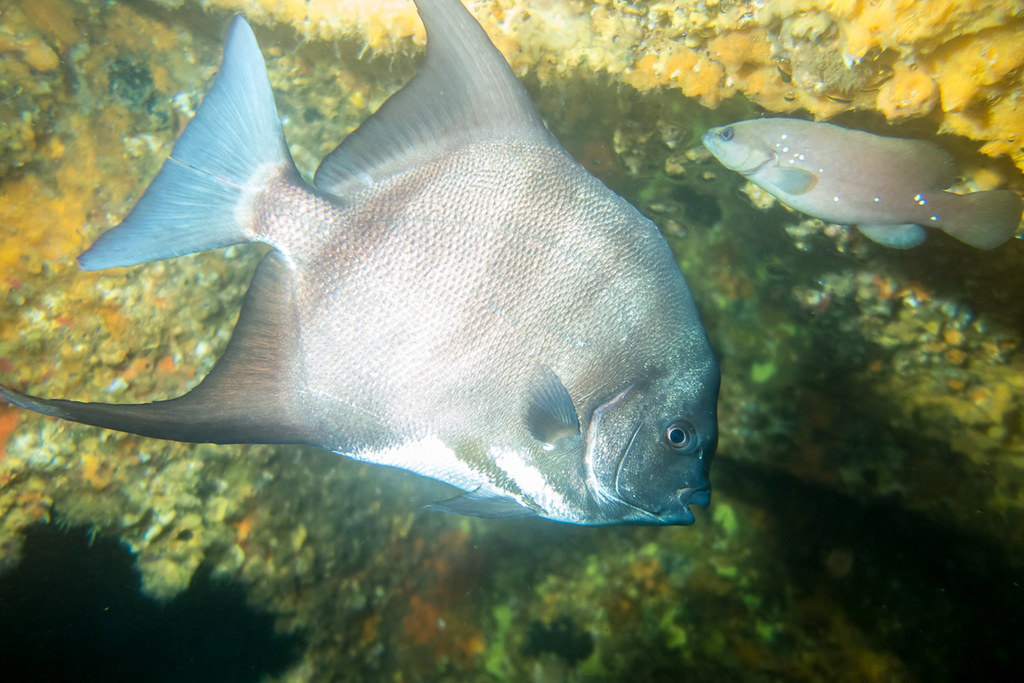 Another take of Atlantic Spadefish, with a Soapfish in the background