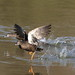 Small photo of African black duck today