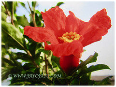 Captivating orange-red flower of Punica granatum (Pomegranate, Buah Delima in Malay), 23 Aug 2017