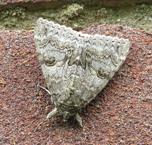 Red Underwing Catocala nupta Tophill Low NR, East Yorkshire August 2017