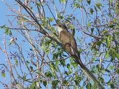 Yellow-billed Cuckoo, Santa Ana NWR, TX 7/30/2017